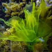 Pourquoi faut-il manger des algues?
